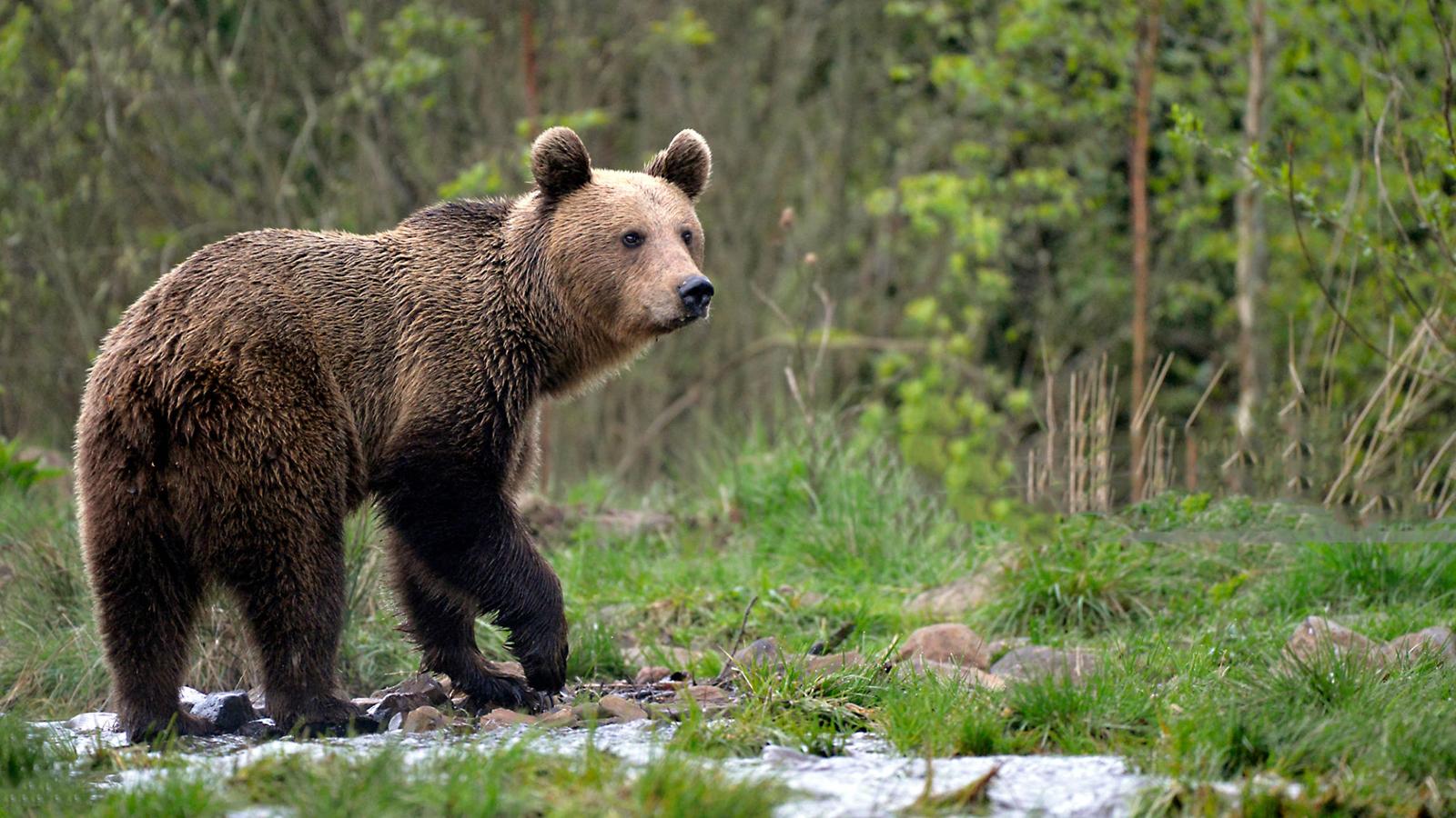 fogyókúrás medvék