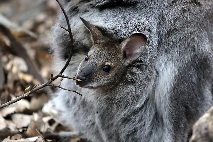 9aa9d774048f Habár a Bennett-kenguru csapat legkisebb tagját gondozói is alig néhány hete  látták meg először, valójában az állat minden bizonnyal már féléves is  elmúlt.